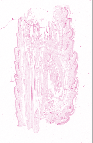 Counterstain_Mouse_Tail